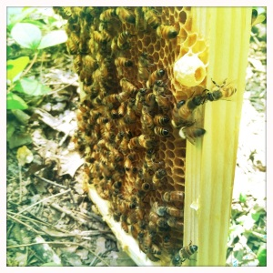 bees on comb and queen cup